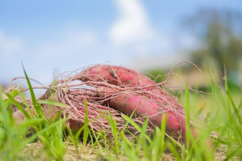 【Wellness Farm Day -はたけの日-】イモ掘り・しいたけ菌うち体験@ひらかた独歩ふぁーむ