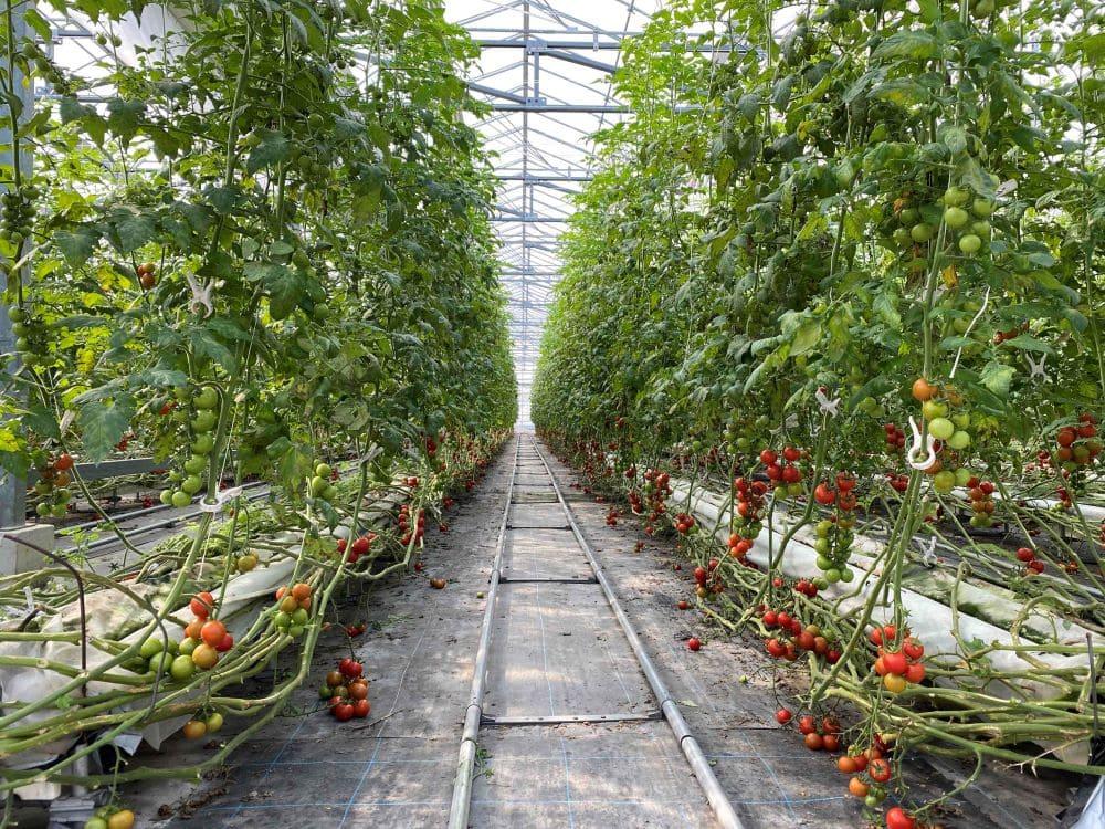 ビジネスとしての農業を現地に学ぶ M&Aで始める持続可能なオランダ式トマト栽培の事例