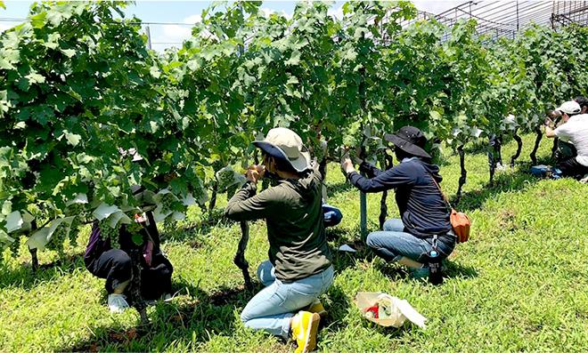 垣根畑で学ぶ、ワイン用葡萄の栽培体験※サンプル
